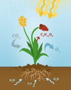 La photosynthèse grâce au soleil