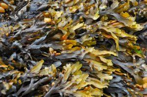 les algues trouvées sur la plage