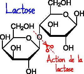 hydrolyse du lactose
