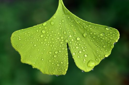 le ginkgo, une des plantes médicinale